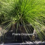 2019 Prarie Dropseed
