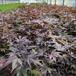 Acer pal.'Bloodgood' - Bloodgood Japanese Maple overview
