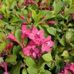 Azalea 'Rene Michelle' Bloom