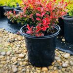 Berberis t. 'Admiration' 1 GAL 2