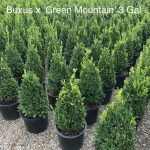 Buxus x. 'Green Mountain' 3 GAL Conical Group