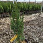 Juniperus ch. 'Blue Point' 1 GAL