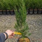 Juniperus v. 'Idylwild' 1 GAL