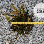 L Buxus x 'Green Gem' 1 GAL Top Shot