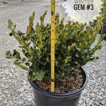 L Buxus x. Winter Gem 1 GAL 2