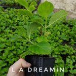 L Hydrangea m. L.A. Dreamin 4 IN