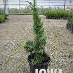 L Juniperus ch. 'Iowa' 1 GAL