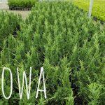 L Juniperus ch. 'Iowa' 1 GAL Crop Shot