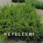 L Juniperus ch. 'Keteleeri' 1 GAL Crop Shot