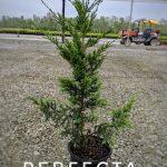 L Juniperus ch. 'Perfecta' 1 GAL