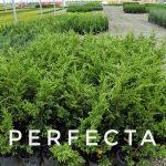 L Juniperus ch. 'Perfecta' 1 GAL Crop Shot