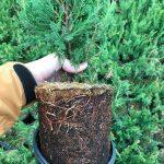 L Juniperus ch. 'Sea Green' 1 Gal 6 Mo Prior to
