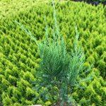 L Juniperus ch. 'Sea Green' 4 IN