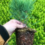 L Juniperus ch. 'Sea Green' 4 IN w Roots