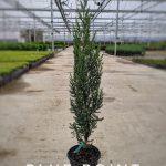 L Juniperus ch.'Blue Point' 1 GAL