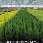 L Juniperus ch.'Blue Point' 1 GAL Crop Shot