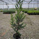 L Juniperus x 'Star Power' 1 GAL