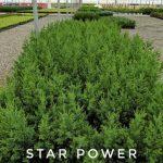 L Juniperus x 'Star Power' 1 GAL Crop Shot