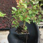 L Largerstoremia Bellini™ Grape