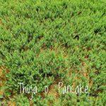 L Thuja o. 'Emerald Green 1 GAL Individual