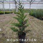 L juniperus ch. 'Mountbatten' 1 GAL
