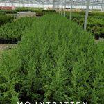 L juniperus ch. 'Mountbatten' 1 GAL Crop Shot