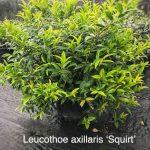 Leucothoe axillaris 'Squirt'