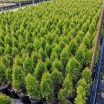 Thuja o. Emerald Green 1 GAL Crop Shot