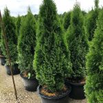 Thuja o. 'Emerald Green' 10 Gal 5'