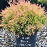 Thuja o. 'Fire Chief' 3 GAL 2