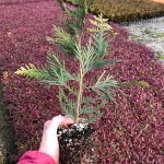 Thuja p. 'Green Giant' 4 IN