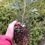 Thuja p. 'Green Giant' 4 IN Root Shot